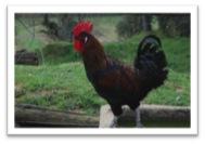 gall penedès-prat